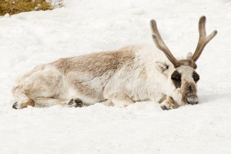 Reno masculino acostándose dormido en nieve fotos de archivo libres de regalías