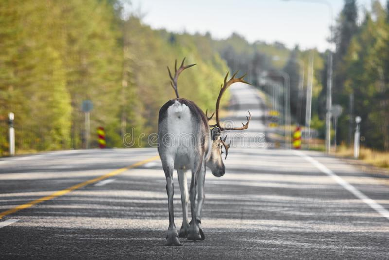 Reno que cruza un camino en Finlandia Paisaje finlandés Viaje b imagenes de archivo