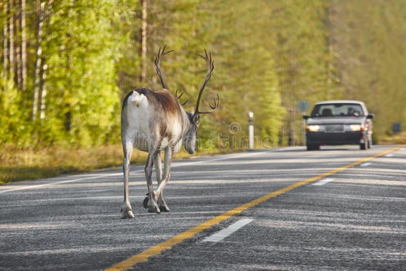 Reno que cruza un camino en Finlandia Paisaje finlandés Viajes imagen de archivo