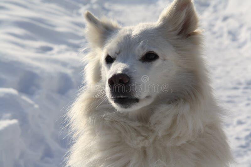 reno que reúne el perro de Pomerania imagen de archivo libre de regalías