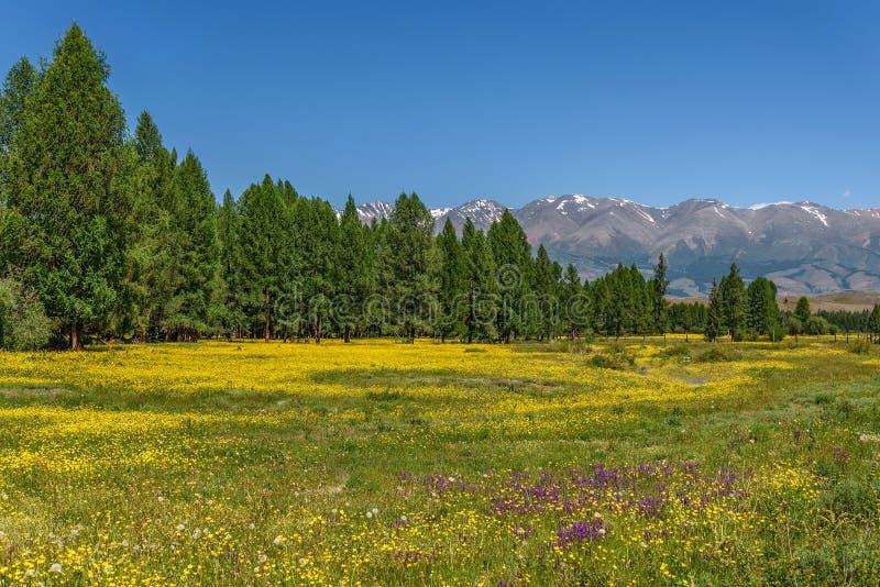 Renoncule de jaune de pré de fleurs de montagnes photo libre de droits