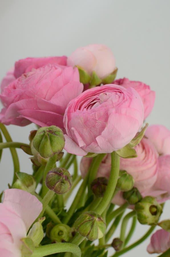 Renoncule persane Groupe pâle - le ranunculus rose fleurit le fond clair photographie stock libre de droits