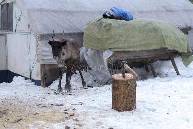 Renos en el invierno imagenes de archivo