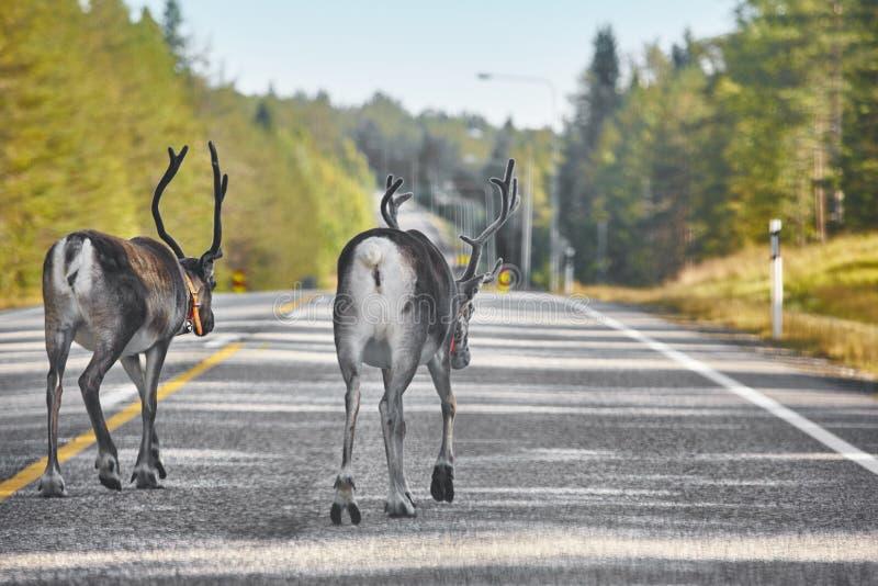 Renos que cruzan un camino en Finlandia Paisaje finlandés rodee fotos de archivo
