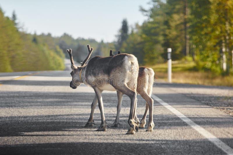 Renos que cruzan un camino en Finlandia Paisaje finlandés Viajes foto de archivo libre de regalías