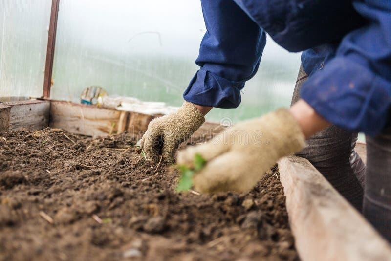 Rensa i grönsakträdgården, closeup Kvinnligt räcker i handskar Begreppsomsorg av kulturella växter royaltyfria bilder