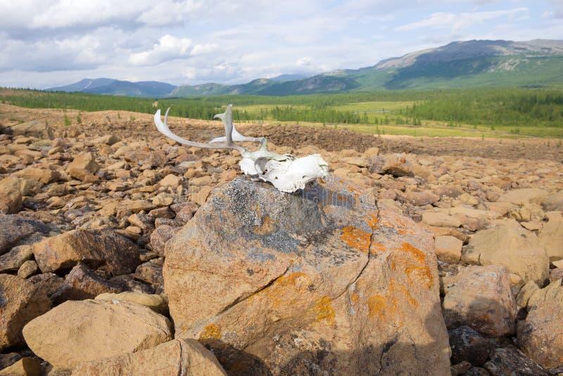 Renskalle som ligger på en sten Polara Ural, Ryssland royaltyfri fotografi