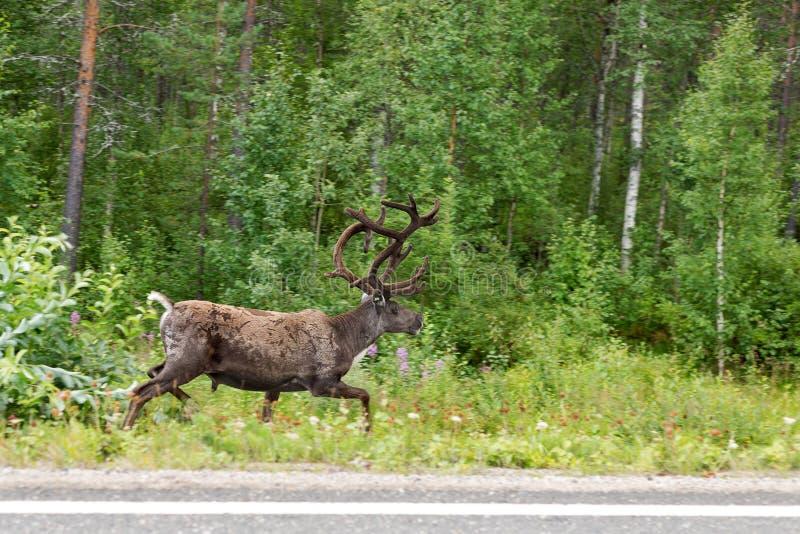 Renspring på sidan av vägen i den gröna skogen arkivfoton