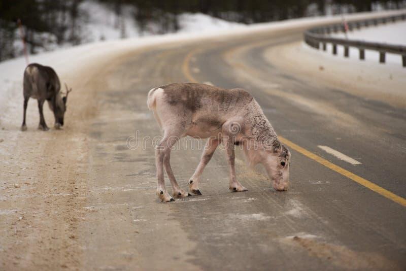 Renstående i vintersnötid royaltyfri foto