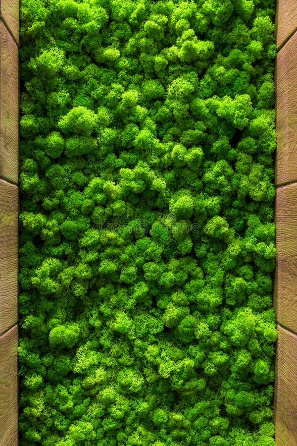 Rentierflechtewand, grünes Wanddekoration Cladonia rangiferina Innenspott maserte oben lizenzfreie stockbilder