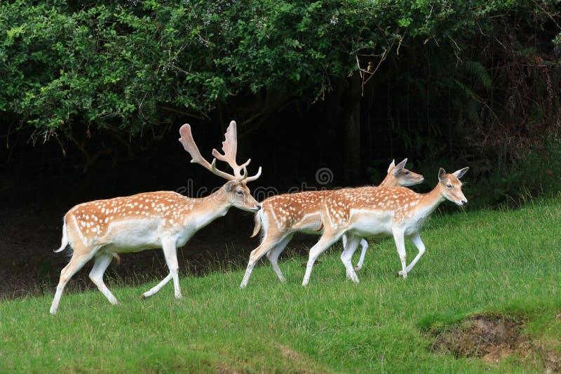 rep заповедника игры чехословакских оленей залежный Самец оленя и 2 делают стоковая фотография