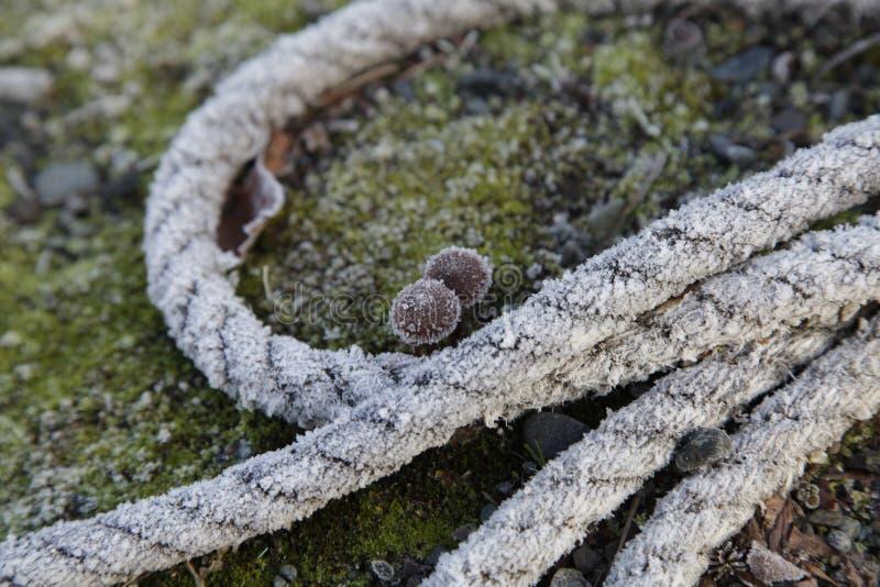 Rep och champinjoner med frost royaltyfri foto