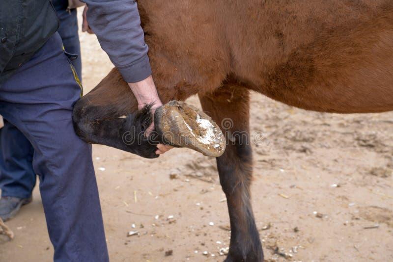 Reparação do fim do casco do cavalo acima da fotografia fotos de stock