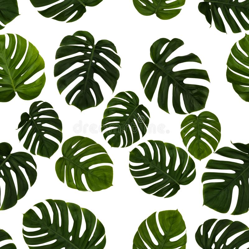 Repeating green cheese plant leave, Monstera Deliciosa, on white background. Real photographed image, seamless. Repeating green cheese plant leave, Monstera royalty free illustration