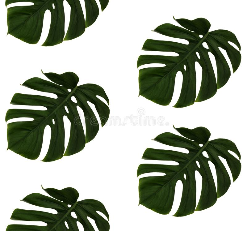 Repeating green cheese plant leave, Monstera Deliciosa, on white background. Real photographed image, seamless. stock photography