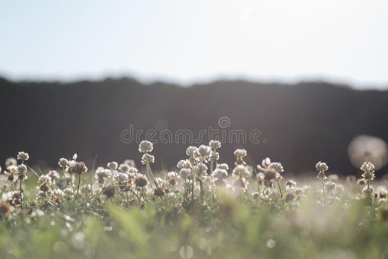Repens de trifolium sur la pelouse d'arrière-cour image stock