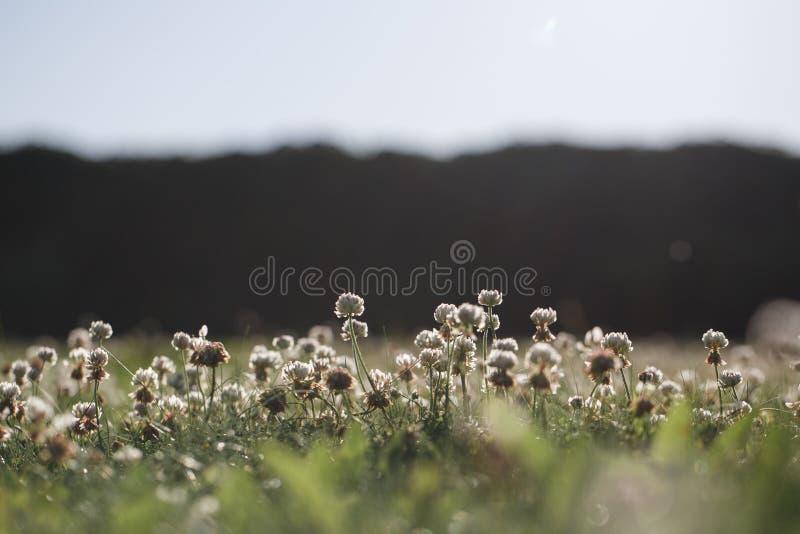 Repens de trifolium sur la pelouse d'arrière-cour images stock