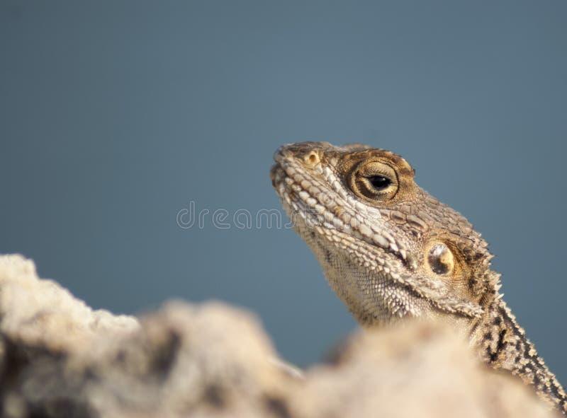 Repicando o lagarto fotografia de stock