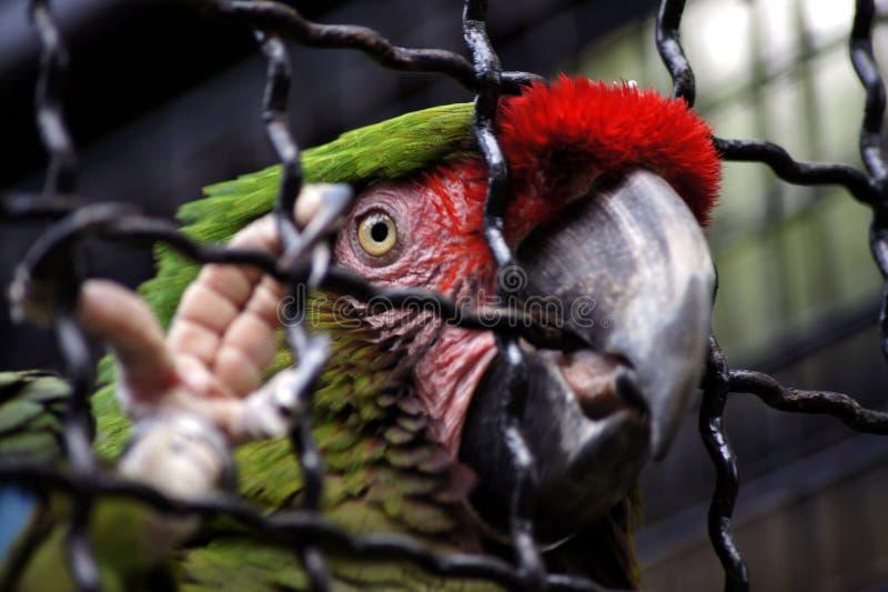 Repita mecánicamente el gran Macaw verde en jaula en el parque zoológico Hodonin fotografía de archivo libre de regalías