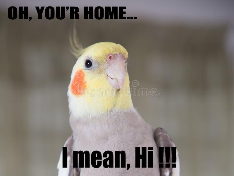 Repita mecánicamente el retrato divertido del Cockatiel de la cita, memes lindos, su hogar, yo significan hola apoyos imagen de archivo libre de regalías