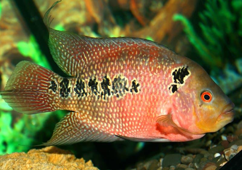 Repita mecanicamente peixes no aquário imagem de stock royalty free