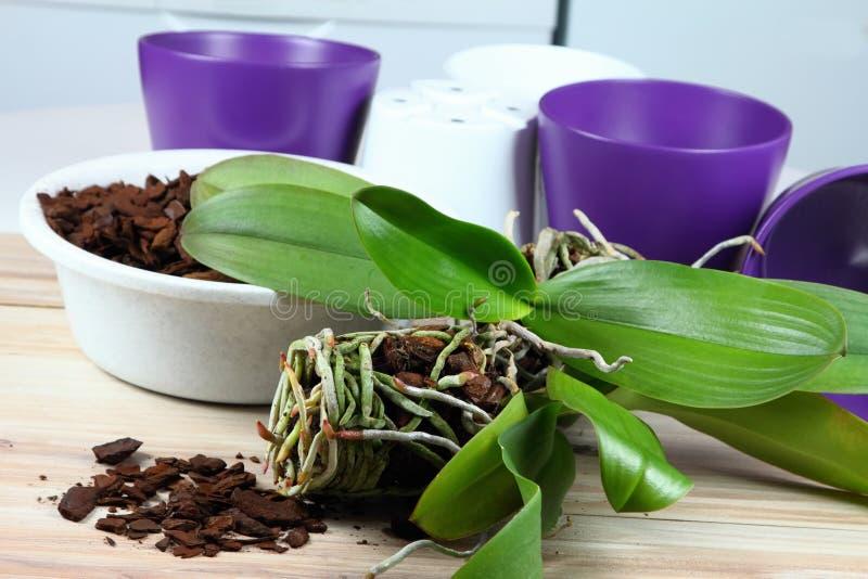 Replantação da orquídea imagens de stock