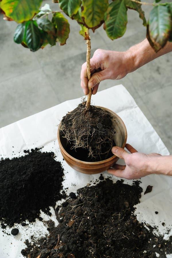 Replanting av houseplanten royaltyfri bild