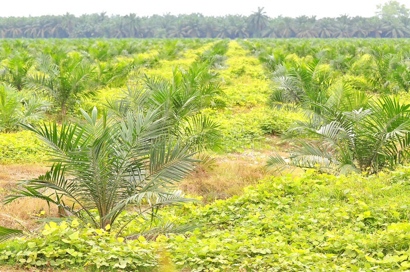 Replanting oil palm tree at the estate using block method. stock photography