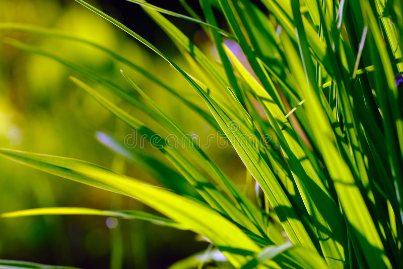 Replete green grass. High quality large size photo of grass, close up diagonal view, true natural juicy green colors, good composition. Image shows almost macro stock image