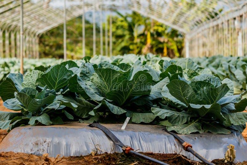 Repolho orgânico Cabeça verde fresca da couve no campo pronto imagem de stock royalty free