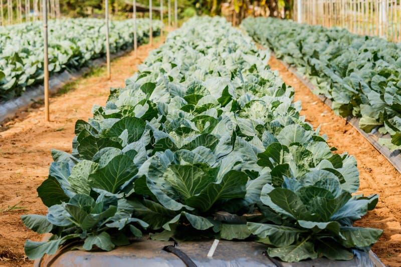 Repolho orgânico Cabeça verde fresca da couve no campo pronto imagem de stock