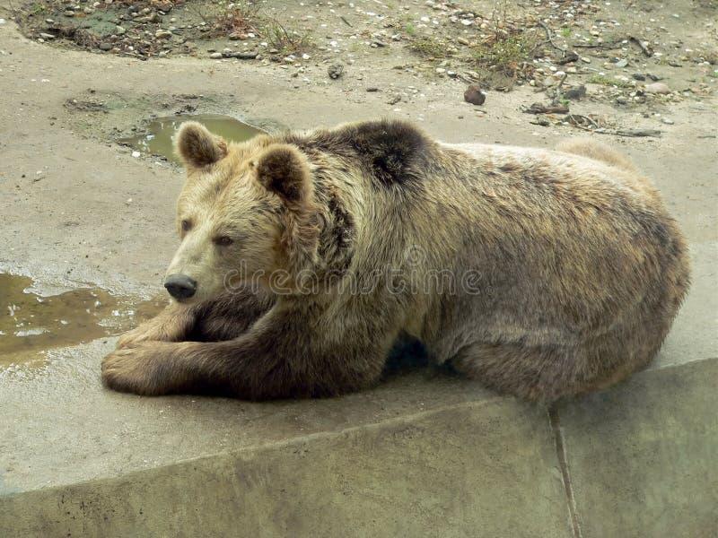 Repos d'ours de Brown photo libre de droits