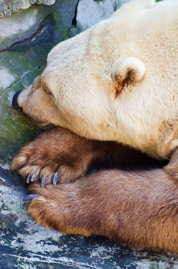 Repos d'ours gris image libre de droits