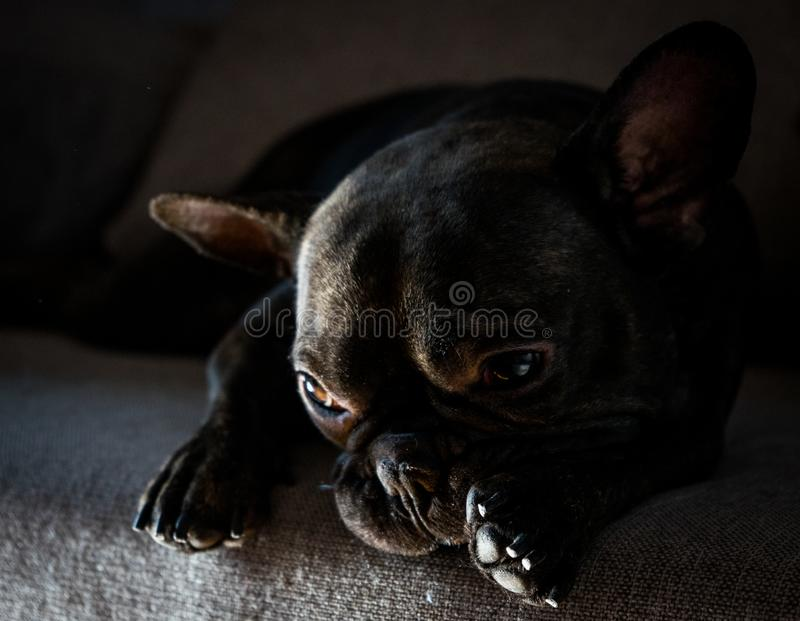 Repos de bouledogue français photographie stock