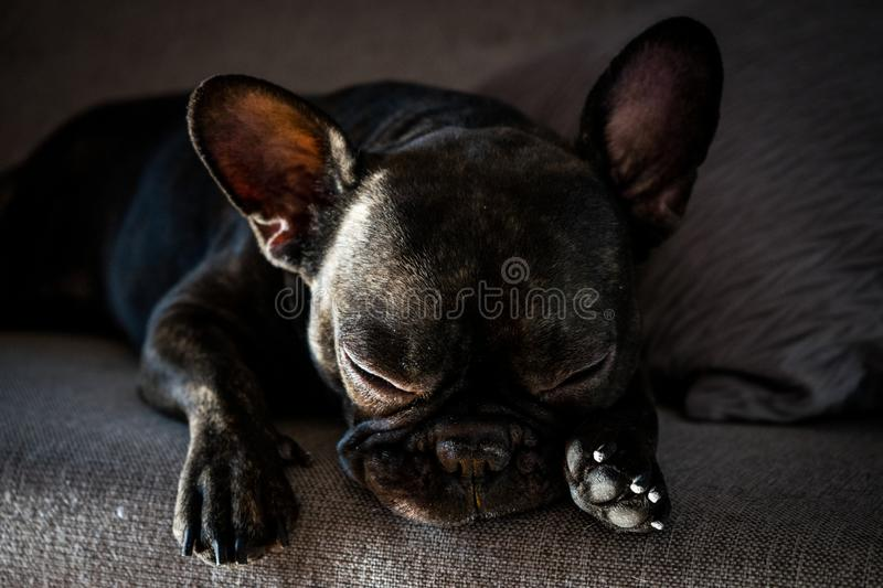 Repos de bouledogue français images stock
