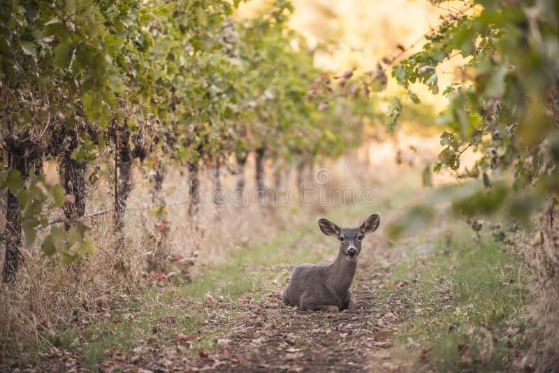Repos de cerfs communs dans le vignoble de raisin photos libres de droits
