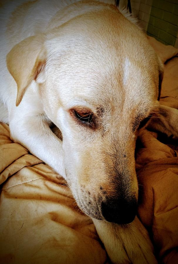 Repos de chien photo stock
