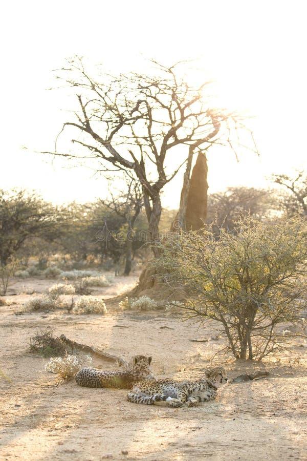 Repos de deux guépards photographie stock