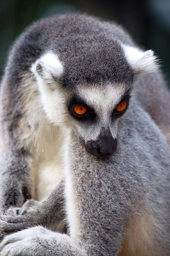 Repos de Lemur image stock