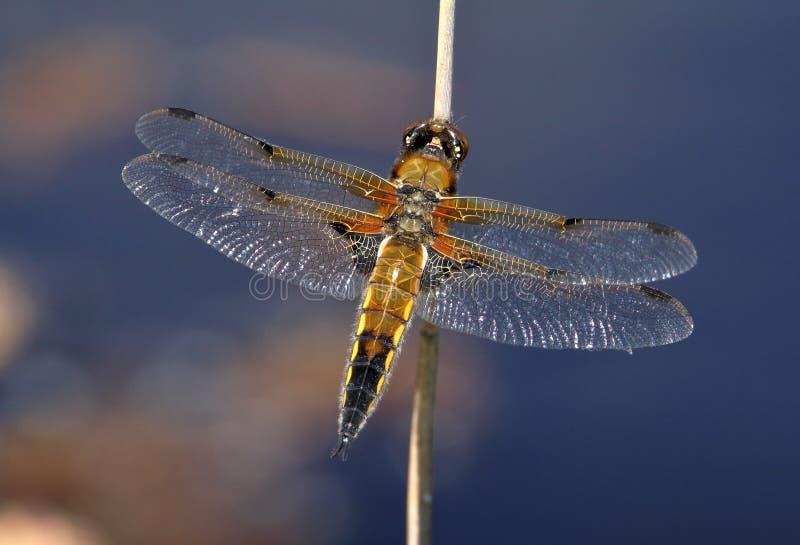 Repos de libellule de chasseur rep?r? par quatre photos stock