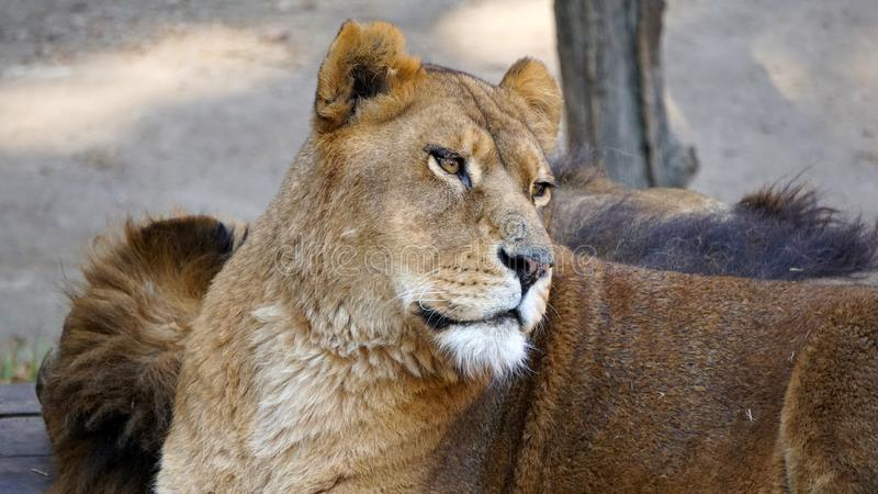 Repos de lionne image stock