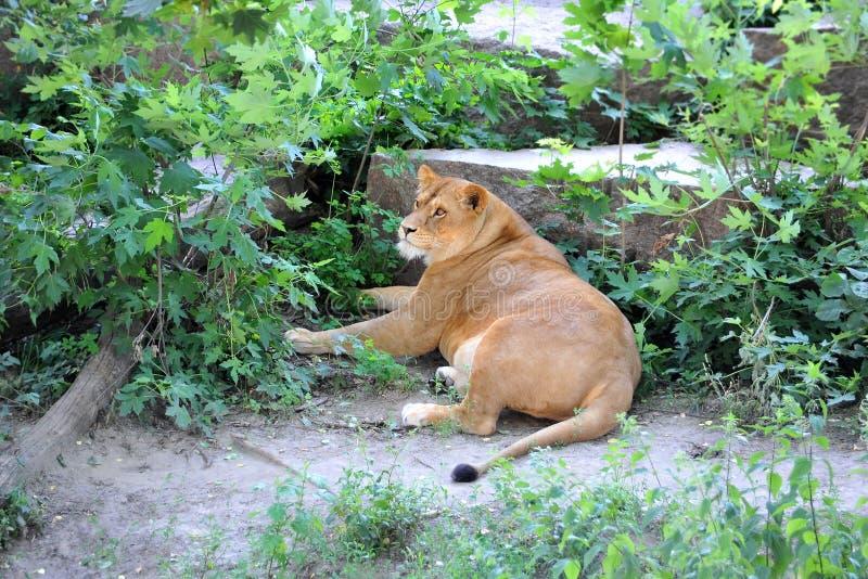 Repos de lionne dans la forêt photos libres de droits