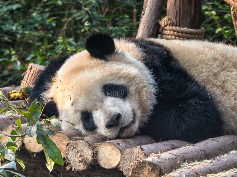 Repos de panda g?ant image stock