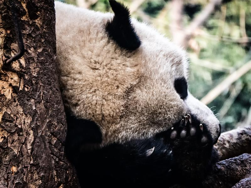 Repos de panda g?ant photographie stock libre de droits