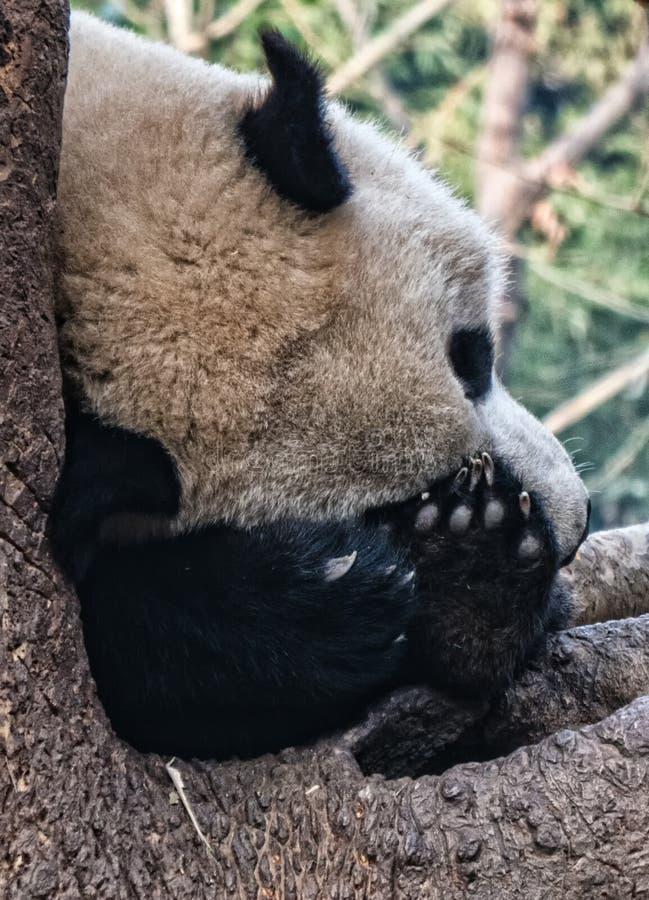 Repos de panda g?ant photos stock