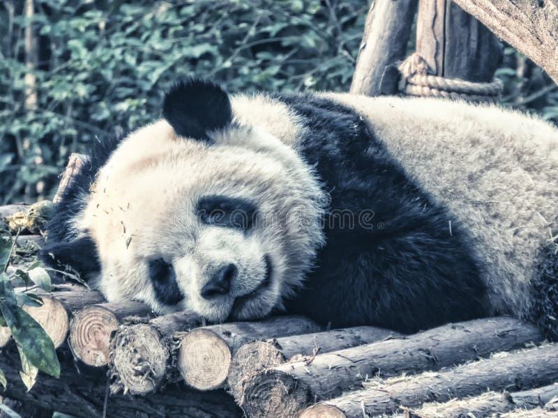 Repos de panda g?ant photographie stock