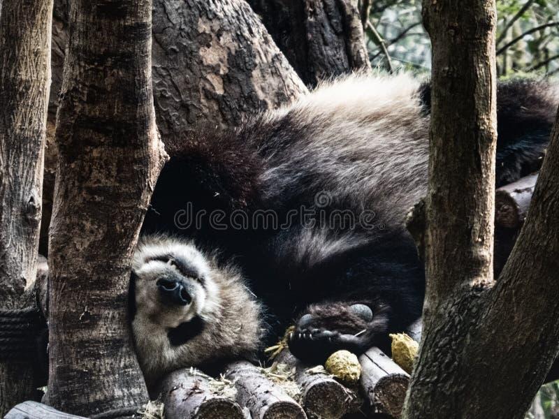 Repos de panda g?ant photos libres de droits