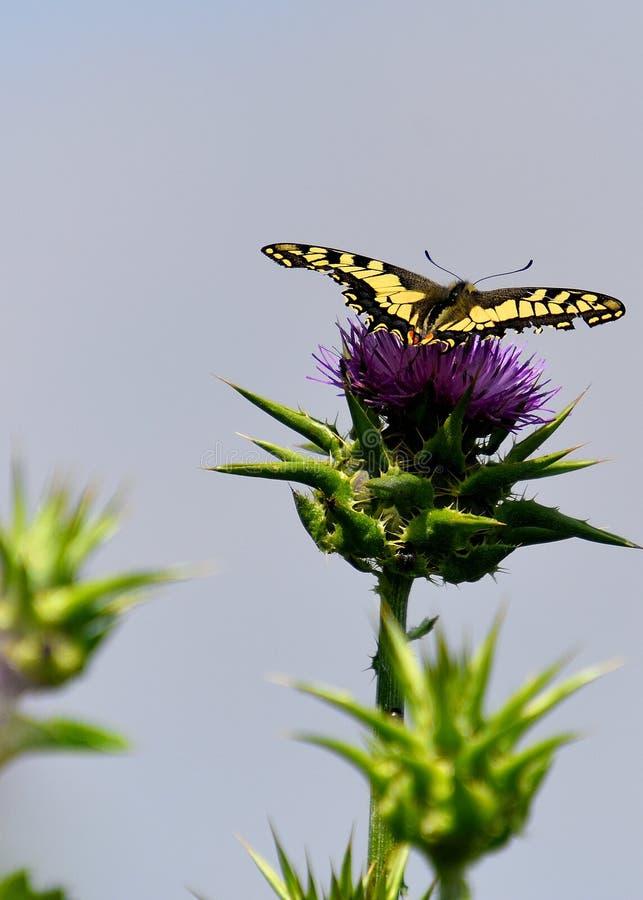 Repos de papillon sur la fleur violette photo libre de droits
