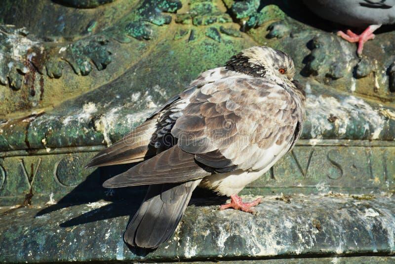 Repos de pigeon photographie stock