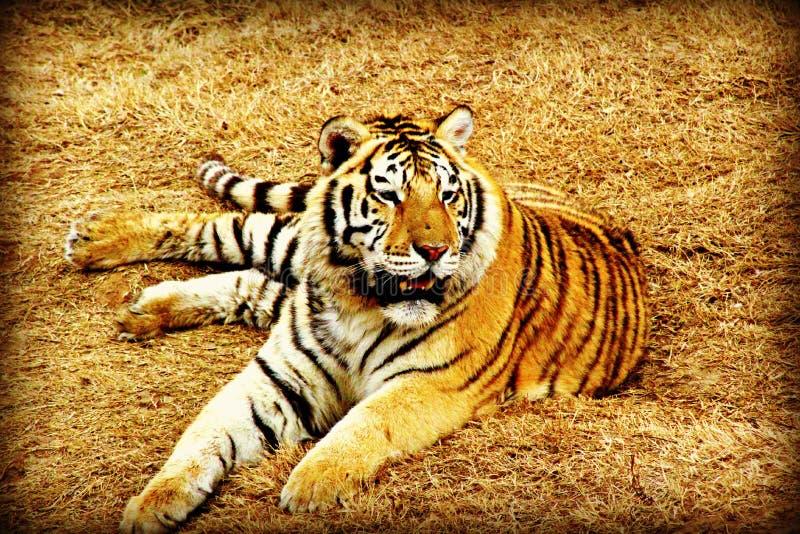 Repos de tigre photo stock